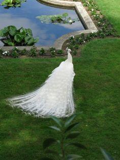 White Peacock or Peafowl in all it's splendor ♥ Pretty Birds, Beautiful Birds, Beautiful World, Animals Beautiful, Beautiful Scenery, Pavo Real Albino, Albino Peacock, Male Peacock, Pfau Tattoo