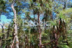 Mountain Neinei (Dracophyllum traversii) Royalty Free Stock Photo