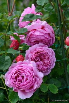 Captivating Why Rose Gardening Is So Addictive Ideas. Stupefying Why Rose Gardening Is So Addictive Ideas. Rose Pictures, Flower Photos, Love Rose, Pretty Flowers, Beautiful Roses, Beautiful Gardens, Coming Up Roses, David Austin Roses, My Secret Garden