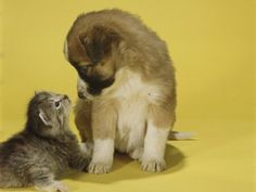 "Kitten & puppy staring each other down.  Do you think they may be thinking ""Are we going to be friends?"""