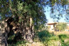 El olivo abuelo, con la casa de paja al fondo. El Cabecico-Calasparra