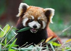 The red panda (Ailurus fulgens, or shining-cat), is a small arboreal mammal native to the eastern Himalayas and southwestern China. It is the only species of the genus Ailurus. Slightly larger than a domestic cat, it has reddish-brown fur, a long, shaggy tail, and a waddling gait due to its shorter front legs. It feeds mainly on bamboo, but is omnivorous and may also eat eggs, birds, insects, and small mammals. It is a solitary animal, mainly active from dusk to dawn