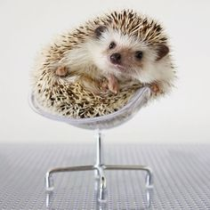 Hedgie in office chair