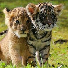 Image may contain: grass and outdoor Big Cats, Cats And Kittens, Cute Cats, Cute Baby Animals, Animals And Pets, Funny Animals, Beautiful Cats, Animals Beautiful, Cute Tigers