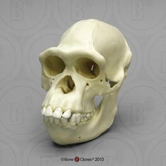 The Bone Room specializes in real human bones, real animal bones, insects, fossils and more in Berkeley, California. Primates, Mammals, Skull Reference, Animal Bones, Skull Fashion, Baboon, Human Skull, Chimpanzee, Animal Skulls
