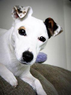 Jack Russell Terrier # #