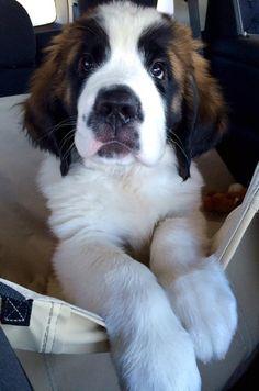 Bachelor, a Saint Bernard puppy, joins Belle, a 1-year-old Bernese Mountain dog at The Ritz-Carlton, Bachelor Gulch. @ritzcarlton