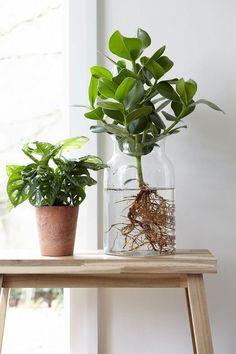 Så lyckas du med odlingen inomhus – 7 heta tips – Best Garden Plants And Planting Clusia, Hydroponic Farming, Hydroponic Growing, Water Garden, Garden Plants, Indoor Plants, Ikebana, Diy Hydroponik, Greenhouse Kits For Sale