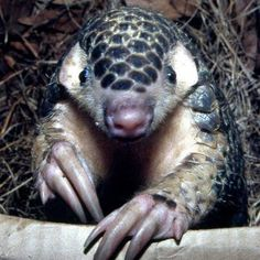 Pangolin - so want one of these
