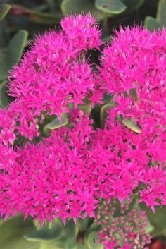 Sedum 'Neon', is a wildly colored form of a popular landscape sedum. The iridescent blooms are bold enough to catch eyes from miles away. The blue/green succulent foliage is another attribute of beaut