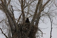 Nesting Eagle on Rock Creek!