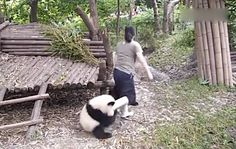Clingy panda does not want to let zookeeper go--At the Chengdu Giant Panda Research Center, a baby panda was caught on camera refusing to let his caretaker leave. Her first attempt, she was tackled to the ground. But she wasn't phased by this baby's cuteness as she continued to get up and leave successfully.