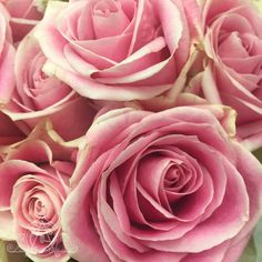 A bit of time today during a break from writing. Roses, Writing, Flowers, Plants, Pink, Rose, Plant, Being A Writer, Royal Icing Flowers