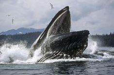 Blue Whale Kayak   Humpback whales in Alaska: Humpback Whales Feeding In Alaska