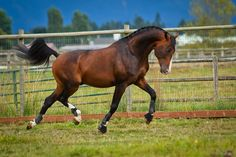 Bay dutch warmblood