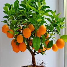 Fruit seeds Dwarf Standing Orange Tree seeds Indoor Plant in Pot garden decoration plant 30pcs E01 #>=#>=#>=#>=#> Click on the pin to check out discount price, color, size, shipping, etc. Save and like it!