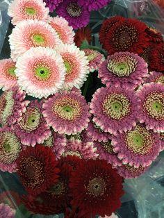 gerbera: bloem van de maand april 2017   gerbera: fleur du mois