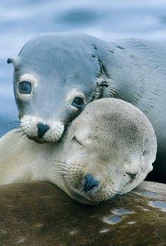 Love Share and Keep Smile — California sea lion moment love Cute Creatures, Beautiful Creatures, Animals Beautiful, Pretty Animals, Majestic Animals, Sea Creatures, Nature Animals, Animals And Pets, Wild Animals