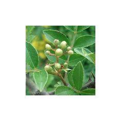 Poivre du sichuan, cultiver le simplement au jardin, sans aucune difficulté.