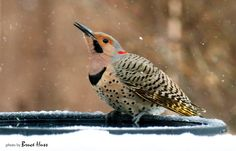 A Yellow Shafted Flicker, one of the photographer's favorite backyard regulars, braving the snow for a drink. 2/22/2015, Wichita KS. Photo by Bruce Huss.