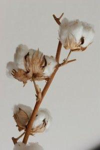 Baumwolle, Gossypium, Samenhaare