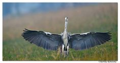 RATHIKA RAMASAMY PHOTOGRAPHY Folks in Trichy(Tiruchirappalli) and around: As part of wildlife week program,I will be on air today 10.00am ,tune in@ Rainbow FM 102.1 Wings wide open-Grey heron (Ardea cinerea) taken @Keoladeo National Park, Bharatpur, Rajasthan