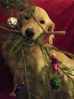 This is his Christmas tree..:)  #Golden