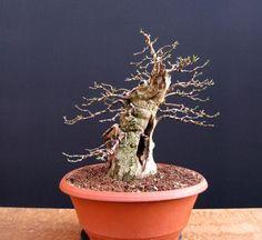 Privet bonsai stump. Good instructions