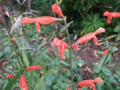 Salvia stolonifera All Plants, Garden Plants, Salvia, Seaside, Vegetables, Sage, Beach, Vegetable Recipes, Coast