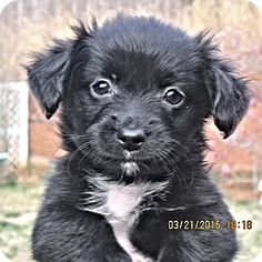 Brookside, NJ - Chihuahua/Jack Russell Terrier Mix. Meet Queenie, a puppy for adoption. http://www.adoptapet.com/pet/12635995-brookside-new-jersey-chihuahua-mix