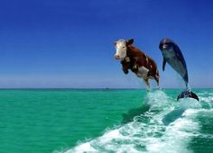 Cow and Dolphin Fake Comedy Funny Animal Wallpaper Funny Animal Pictures, Funny Photos, Funny Animals, Cute Animals, Silly Pictures, Animal Jokes, Animal Pics, Silly Pics, Animals Sea
