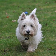 Stalking the camera. Unusual Dog Breeds, Best Dog Breeds, Dog Breeds Little, Little Dogs, Small Puppies, Dogs And Puppies, Best Dog Toys, Military Dogs, West Highland Terrier