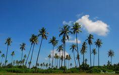 Coconut plantation in Lombok, Indonesia
