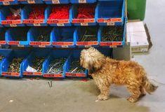 Noul consilier de vânzări de la #Hornbach dă cutenessmetrul peste cap Cape, Dogs, Animals, Instagram, Mantle, Cabo, Animales, Animaux, Pet Dogs
