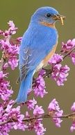 Eastern Bluebird (Sialia sialis) male holding a mealworm in its bill, perched on flowering eastern redbud in spring, New York, USA Marie Read Wildlife Photography