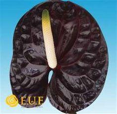 Black Anthurium