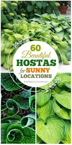 Hostas for sunny areas plus top tips for keeping your hostas healthy and happy.