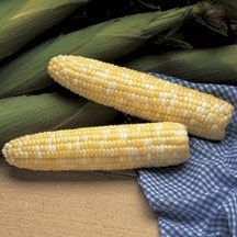 Serendipity Hybrid Sweet Corn -(se/sh2) Phenomenal eating quality has made this one of our top sellers. Large 8 inch ears are filled tip to tip with 16 to 18 rows of tender yellow and creamy-white kernels. We recommend isolation from other supersweet varieties.