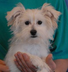 Zachary is a remarkably cute Malti-Poo puppy (Maltese & Poodle mix) debuting for adoption today at Nevada SPCA (www.nevadaspca.org).  He is about 5 months of age and now neutered.  Zachary is great with dogs, but wary of strangers.  We don't know what he has endured during his short life, but he was found on the Vegas streets in great fear with no sign at all of responsible ownership.  A gentle home, experienced home is ideal for Zachary.