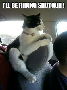 Who says cats don't like riding in cars? - - Who says cats don't like riding in cars? Courdney Wer sagt, dass Katzen nicht gerne im Auto fahren? Funny Cats, Funny Animals, Cute Animals, Crazy Cat Lady, Crazy Cats, I Love Cats, Cool Cats, Cats And Kittens, Cute Kittens