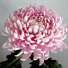 Garden Flowers - Annuals Or Perennials Large Headed Chrysanthemums - I Think They Are Beautiful. Giant Flowers, Types Of Flowers, Purple Flowers, Beautiful Flowers, Beautiful Beautiful, Summer Flowers, Japanese Chrysanthemum, Chrysanthemum Flower, Japanese Flowers