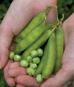 Heirloom Seeds - Vegetable Seeds and Plants, Pea, Lincoln at Burpee.com