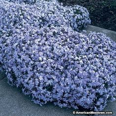 A classic garden favorite, Emerald Blue provides a fast-spreading, low-growing carpet of vivid blue. Creeping Phlox is drought tolerant and extremely easy to grow. (Phlox subulata)
