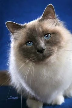 Welcome to The International Cat Association (TICA), the world's largest genetic registry of pedigreed cats. Types Of Cats Breeds, All Cat Breeds, I Love Cats, Crazy Cats, Cool Cats, Beautiful Cats, Animals Beautiful, Cute Animals, Pretty Cats
