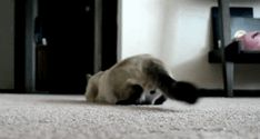 Check out all the awesome cats gifs on WiffleGif. Including all the dogs gifs, cat gifs, and funny gifs. Cute Kittens, Silly Cats, Cats And Kittens, Funny Cats, Funny Animal Videos, Funny Animals, Cute Animals, Baby Animals, Crazy Cat Lady
