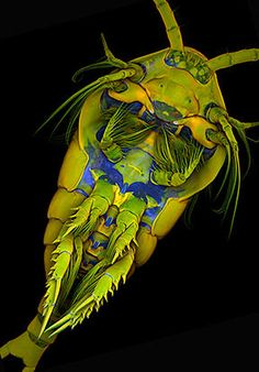 Marine Copepod (click for larger version)