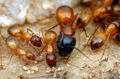 worker ants vary in size, color, and body proportion Big Black Ants, Ant Removal, Queen Ant, Get Rid Of Ants, Body Proportions, Pest Control, Amazing Nature, Cyprus News, Animals