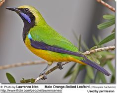 Philippine Leaf Bird | Male Orange-Bellied Leafbird (Chloropsis hardwickii)