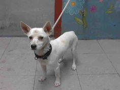 ELROY-ID#A4745651  My name is Elroy and I am described as a neutered male, white Chihuahua - Smooth Coated mix  The shelter thinks I am about 1 year and 6 months old.  I have been at the shelter since Aug 14, 2014. Back For more information about this animal, call: Los Angeles County Animal Control - Lancasterat(661) 940-4191 Ask for information about animal ID number A4745651