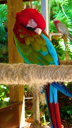 Sleeping parrot at Paradise Point, St. Thomas, U.S Virgin Islands Caribbean Vacations, Caribbean Cruise, Dream Vacations, Vacation Spots, Cruise Vacation, Trinidad, St Thomas Usvi, Puerto Rico, Shell Island